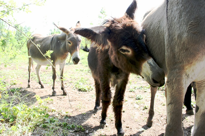 À la découverte d'un élevage d'ânesses