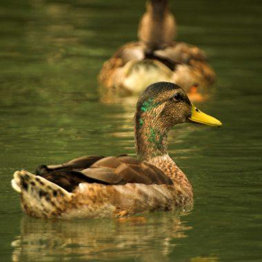 Balade nature et ornithologique au Lac de Créteil