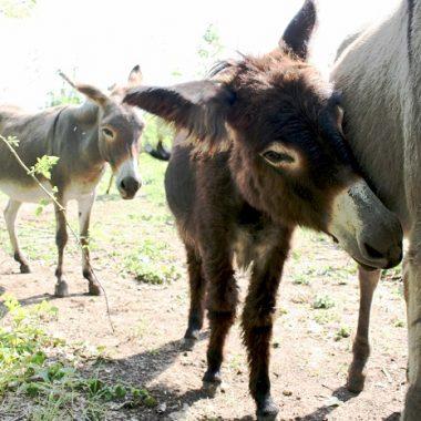 Visite de l'élevage d'ânesses laitières