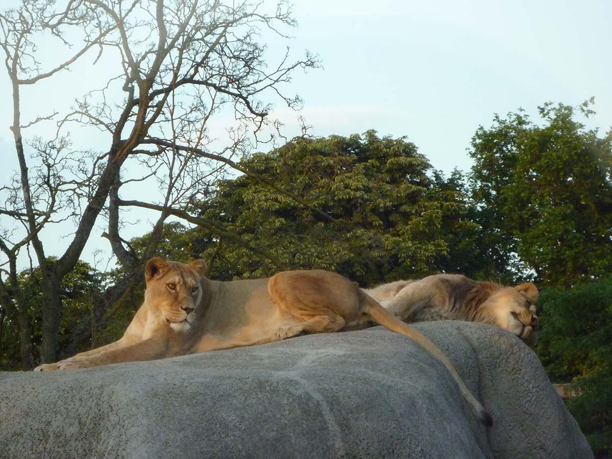 lions zoo vincennes
