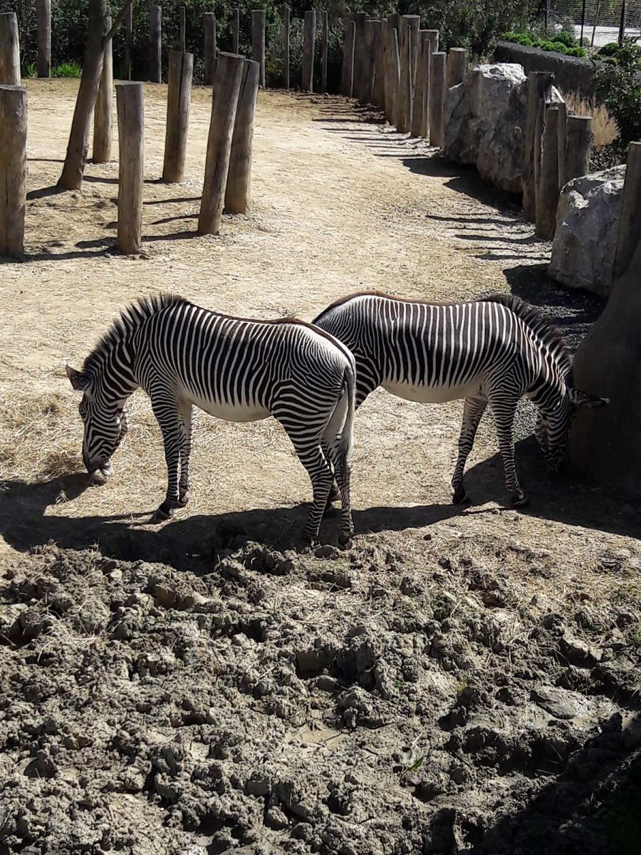 zebres zoo vincennes