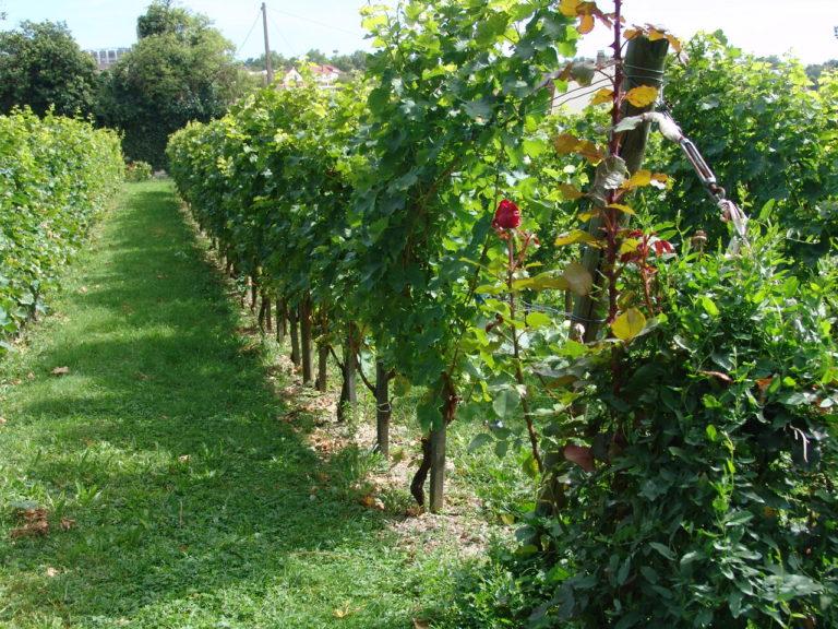 Le vignoble de Cachan