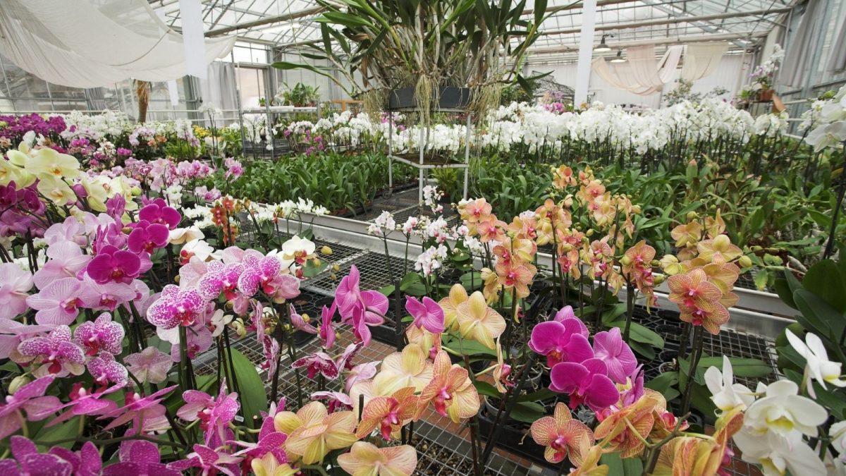 visite des serres d'orchidées Vacherot & Lecoufle