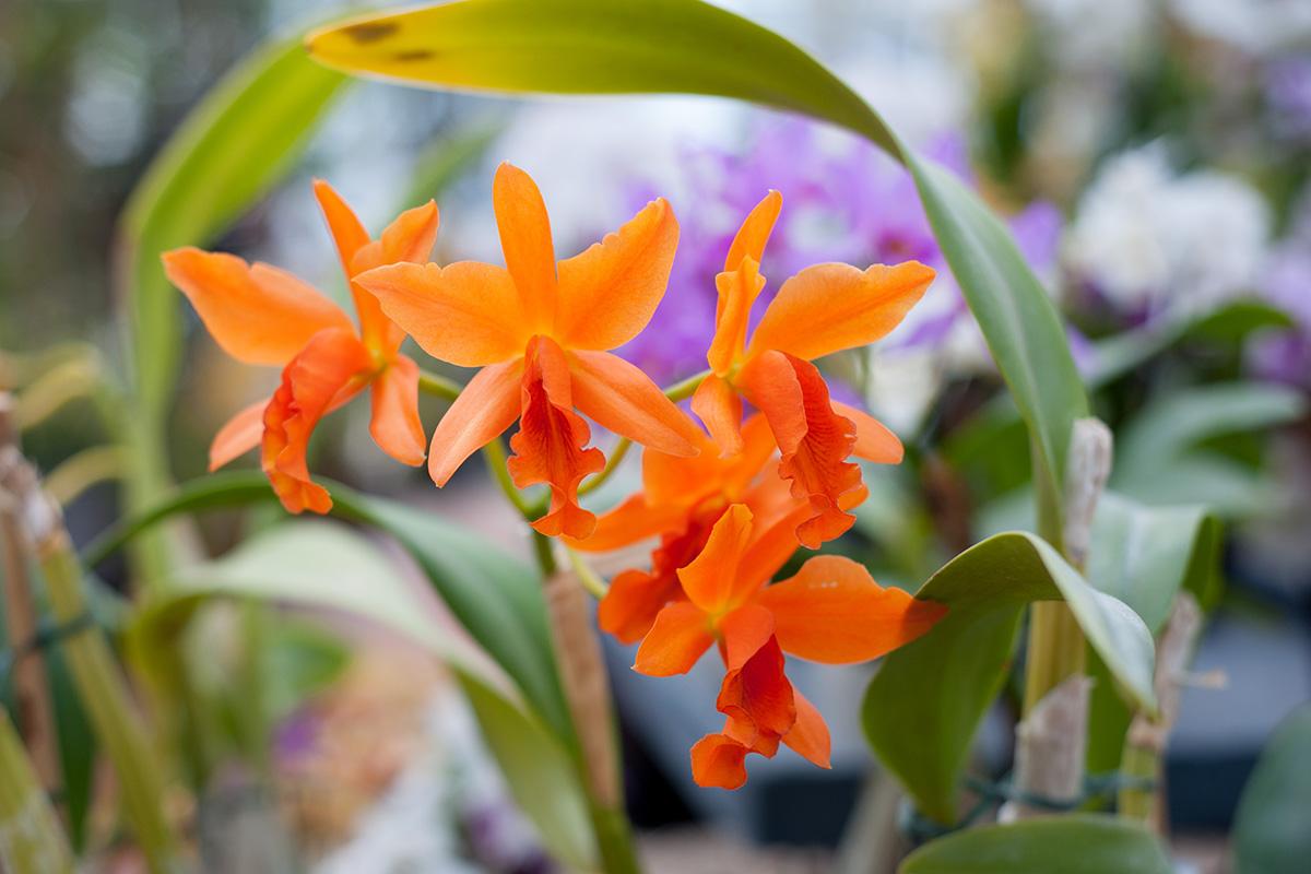 Visite des serres d'orchidées Vacherot Lecoufle