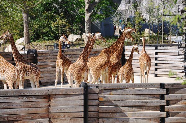 Girafes du Zoo de Vincennes
