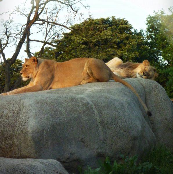 lions zoo vincennes parc zoologique paris