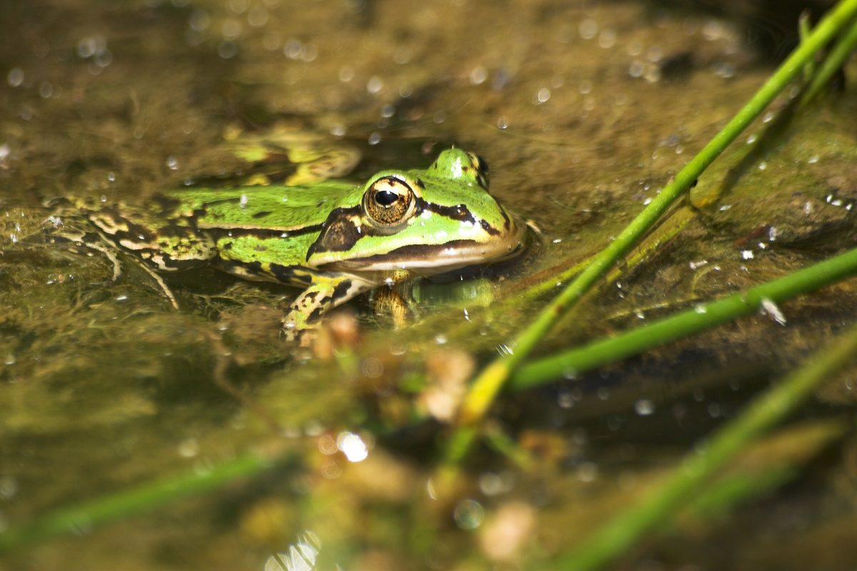 grenouille domaine marmousets foret notre dame