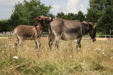 L'un des rares élevages d'ânesses laitières en Ile-de-France
