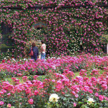 roses roseraie val de marne
