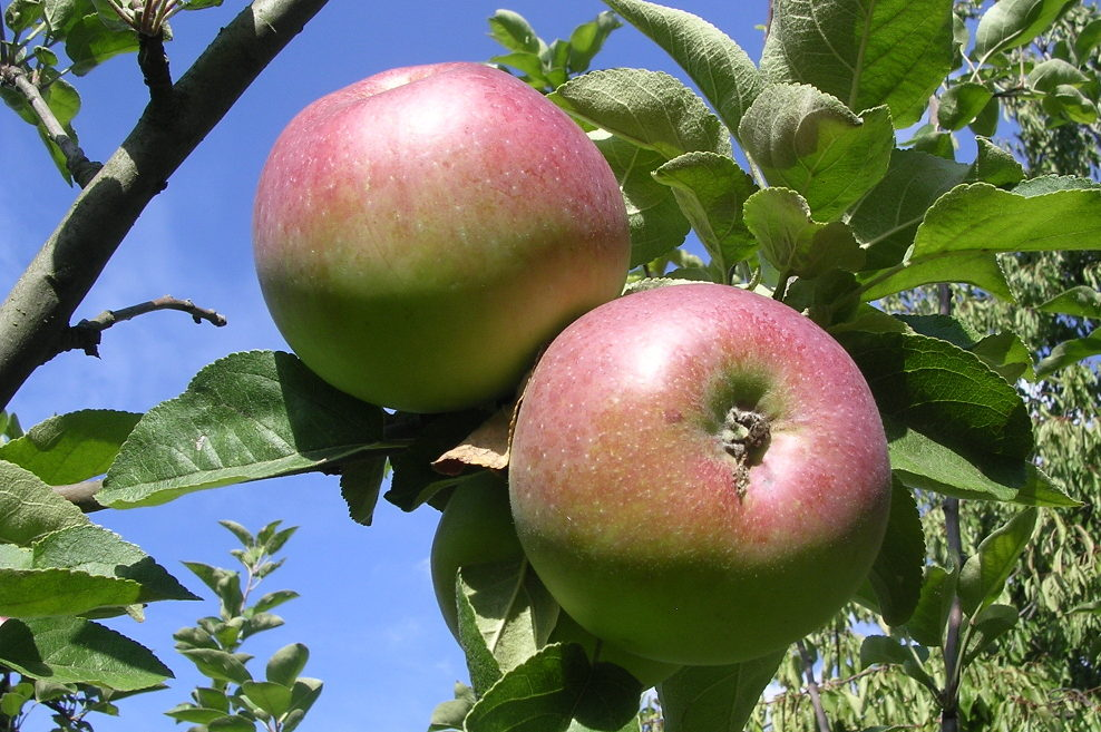 Fête de la Pomme au Parc des Lilas
