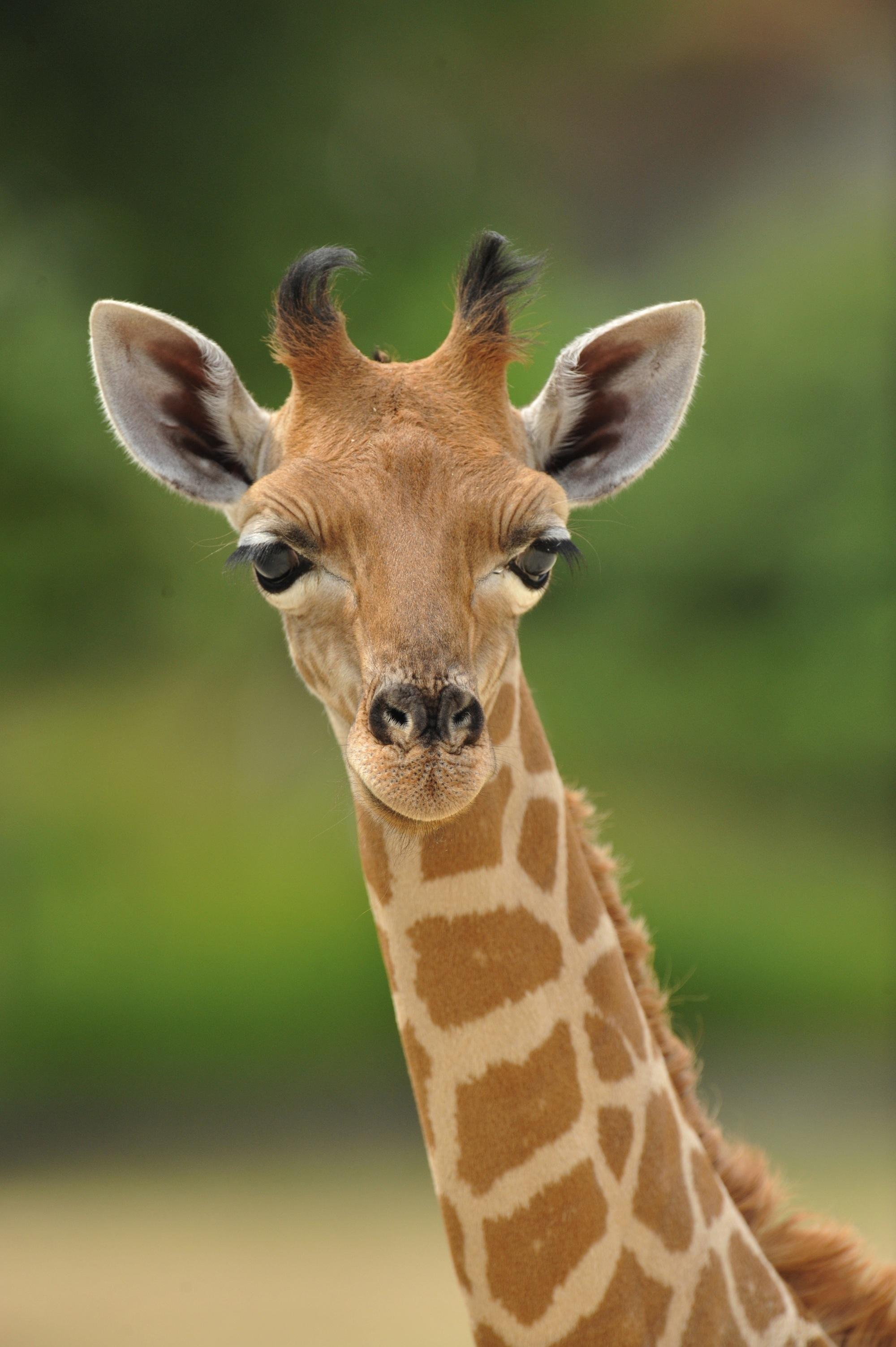Girafe-d-Afrique-de-l-Ouest-0441—F-G-Grandin