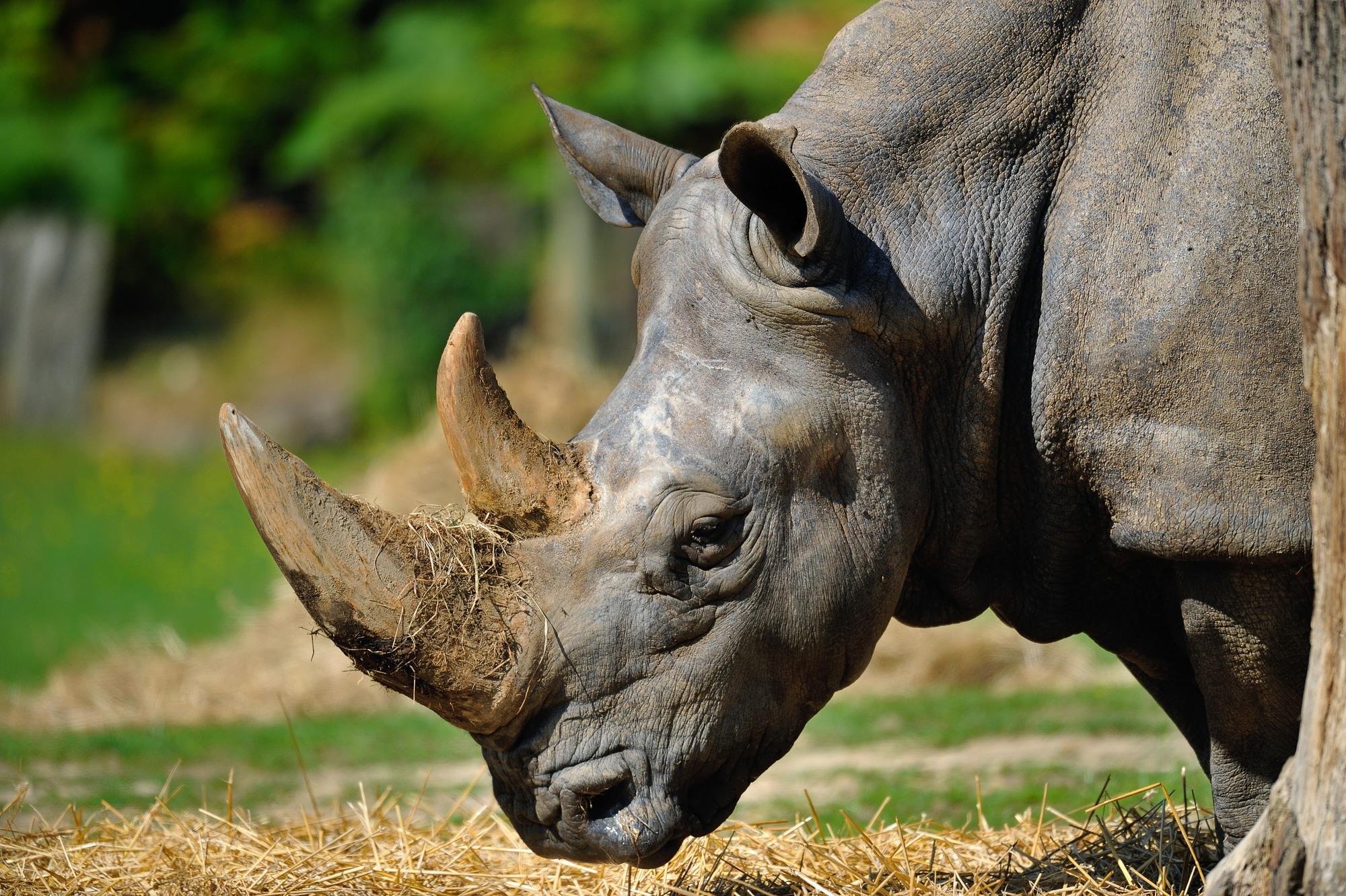 Rhinoceros-blanc-4791—F-G-Grandin-MNHN