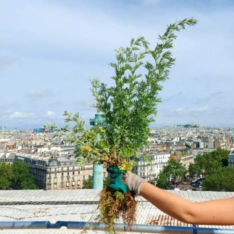 La cueillette du safran sur les toits de Paris