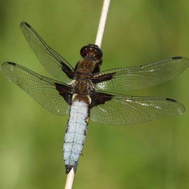 Observation des libellules du Bois de Vincennes