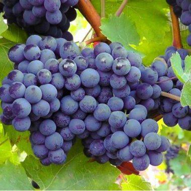 Balade – dégustation : le Plateau et les Vignes du Côteau à Champigny