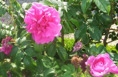 roseraie-8
